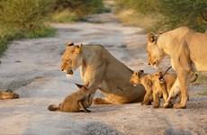 [Photo] Chú cáo con liều mạng đối đầu với đàn sư tử hung dữ