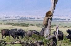 [Photo] Bị trâu rừng rượt đuổi, sư tử cuống cuồng leo cây trốn chạy