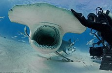 [Photo] Thợ lặn liều mạng chơi đùa cùng cá mập đầu búa khổng lồ