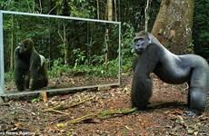 [Video] Thú vị phản ứng của động vật khi thấy mình trong gương