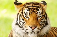 Cảnh sát Gruzia săn lùng chú hổ đang trốn ở khu dân cư