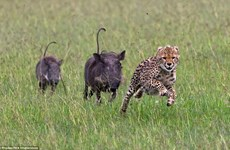 [Photo] Màn rượt đuổi gay cấn giữa hai chú lợn rừng và con báo đốm