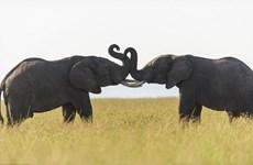 [Photo] Khoảnh khắc thú vị khi hai chú voi thể hiện tình cảm