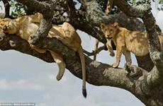 """[Photo] Du khách thích thú khi chứng kiến hình ảnh """"cây sư tử"""""""