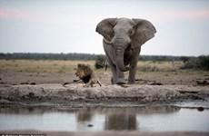 Sư tử hoảng loạn tháo chạy vì suýt bị voi to lớn dẫm chết