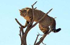 Chú mèo rừng tinh ranh leo lên cây để tránh linh miêu tai đen