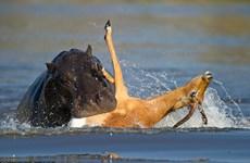 Linh dương suýt bị hà mã dìm chết khi chạy trốn chó hoang