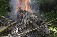 Báo đốm quý hiếm bị thiêu cháy dã man vì tấn công con người