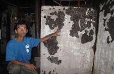 Bình Phước phun hóa chất tiêu diệt hàng vạn con bọ đậu đen