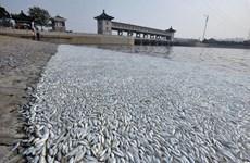 Hàng nghìn con cá chết bí ẩn dạt vào bờ sông tại Thiên Tân