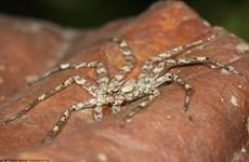 Phát hiện loài nhện có khả năng điều hướng giữa không trung