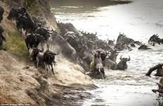 Linh dương đầu bò bị cá sấu cắn chết khi đang cố vượt sông