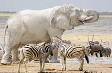 """Ngỡ ngàng với sự xuất hiện của con """"voi bạch tạng"""" ở châu Phi"""