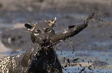 [Photo] Báo đói lao xuống vũng bùn nhanh như chớp để bắt cá