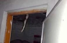 Chủ nhà hốt khoảng khi thấy con trăn dài hơn 2m trên trần nhà