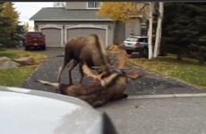 [Video] Hai con nai sừng tấm vật lộn với nhau bên ngoài nhà dân