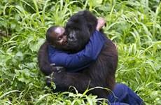 Tình cảm đặc biệt giữa con người và những chú khỉ đột to lớn