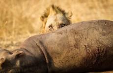 Rợn người với màn ăn thịt con mồi của sư tử và bầy kền kền