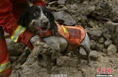 Chó cứu hộ xả thân cứu người gặp nạn trong trận lở đất