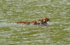 Thích thú với cảnh tượng đàn vịt con bám theo mẹ bơi trên hồ