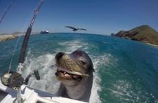 Kinh ngạc cảnh sư tử biển bám đuôi du thuyền để xin thức ăn