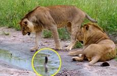 [Photo] Sư tử co rúm khi chạm trán với chú rắn hổ mang con