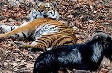 Các chuyên gia đau đầu vì tình bạn quá thân thiết giữa hổ và dê