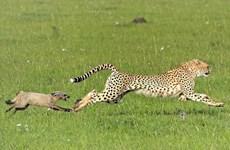[Photo] Màn rượt đuổi thú vị giữa báo đốm và con cáo tai dơi