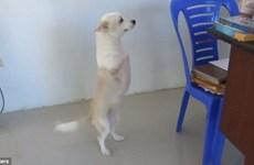 [Video] Bất ngờ với nghị lực sống của chú chó chỉ có hai chân sau