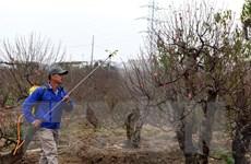 """[Photo] Làng Nhật Tân chăm gốc đào """"khủng"""" chuẩn bị Tết"""