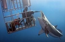 [Photo] Thợ lặn liều mạng đối mặt với con cá mập trắng đói