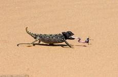 [Photo] Màn săn mồi thú vị của con tắc kè hoa tinh ranh