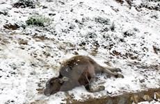 Hơn 3.900 con gia súc và nhiều hécta rau màu bị thiệt hại do rét
