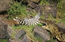 [Photo] Bị cá sấu và báo đốm cùng truy sát, ngựa vằn bỏ mạng