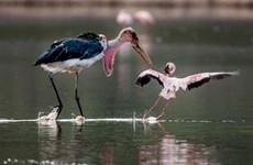 [Photo] Chim hồng hạc tả tơi sau trận chiến với con cò già