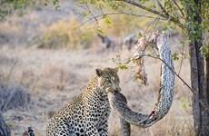 """[Photo] Chú báo đốm đói nhảy lên cây để """"xơi tái"""" con trăn lớn"""