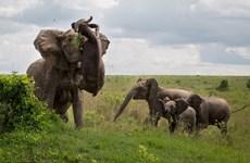 Trâu rừng mất mạng vì bị con voi hung dữ hất tung lên trời