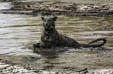 [Photo] Chú báo đói nhem nhuốc bùn đất sau màn bắt cá trê
