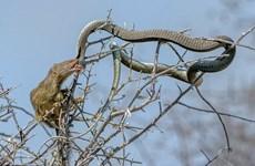 [Photo] Cầy mangut quả cảm khuất phục chú rắn hung dữ