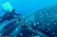 Nhóm thợ lặn liều lĩnh giải thoát một chú cá mập voi