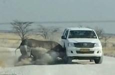 Tê giác bất ngờ nổi cáu, húc thẳng vào xe chở đầy du khách