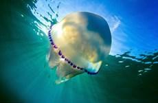 Vẻ đẹp huyền ảo của những con sứa ở vùng biển Tây Ban Nha