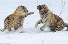 [Photo] Cuộc chiến đầy kịch tính giữa hai con hổ trắng quý hiếm