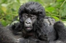 Chú khỉ đột con gây thích thú với mái tóc giống như ngôi sao