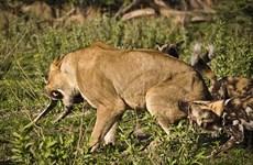 Bầy chó hoang điên cuồng tấn công con sư tử cái tội nghiệp