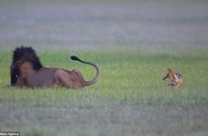 [Photo] Chú chó rừng liều mạng trêu đùa, cắn đuôi con sư tử