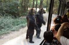 Hai chú gấu gây thích thú khi đứng để chào đón du khách