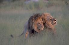 Nghi ngờ sư tử đồng tính trước cảnh hai con đực âu yếm nhau