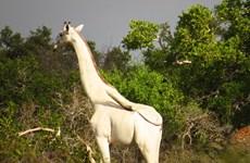Vẻ đẹp choáng ngợp của hươu cao cổ trắng quý hiếm