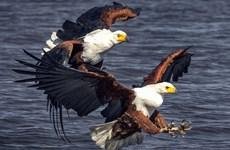 Màn tranh mồi đầy kịch tính của chim đại bàng biển